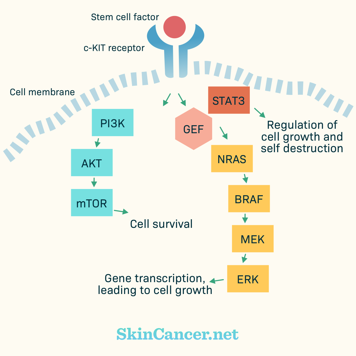 The stem cell factor and C-KIT pathway.